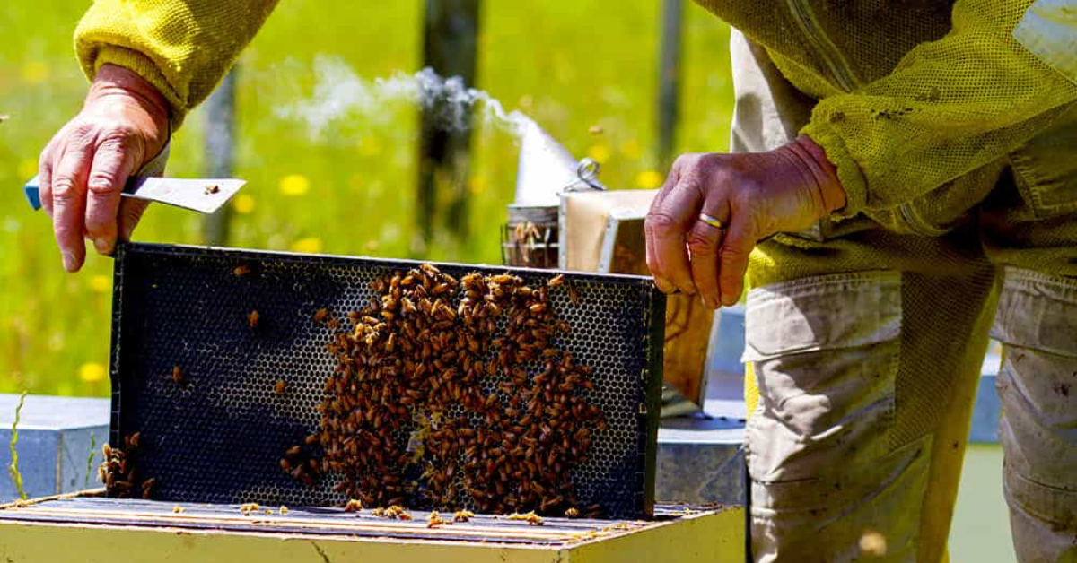 Beekeeper checking for adulteration in honey C4 sugars